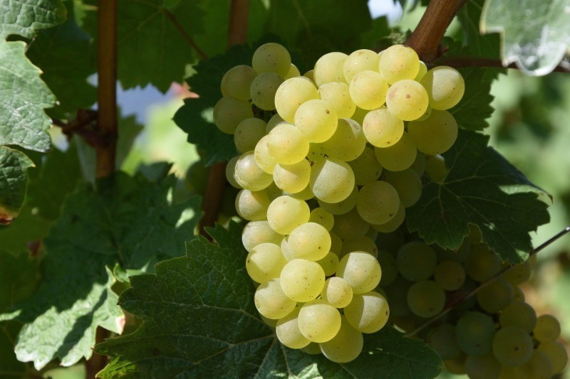 Травянистое или с ароматом тропических фруктов: виды белого вина Совиньон Блан